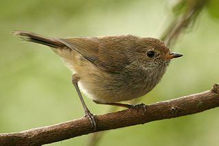 Acanthizidae family of birds