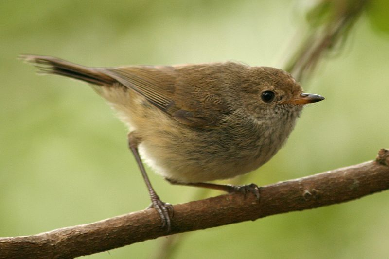 Tập tin:Brown Thornbill.jpg