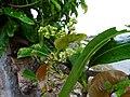 Buchanania axillaris (Cuddapah Almond) 09.jpg