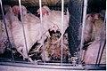 Buckeye rotting hen4 (4017694663).jpg