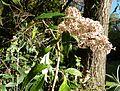 Buddleja auriculata, d, Jan Celliers Park.jpg
