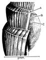 Bulinus forskalii shell 3.png