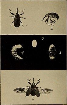 Boll weevil - Wikipedia