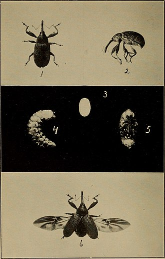 Boll weevil - Image: Bulletin (1904) (20402387206)