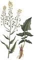 Bunias orientalis, Flora Danica 1651 (clean).png