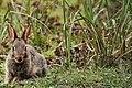 Bunny (34448320056).jpg