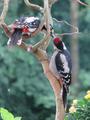 Buntspecht-füttert-jungvogel.png