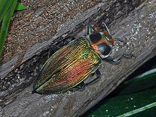 <i>Euchroma gigantea</i> Species of beetle
