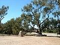 Burke and Wills dig tree 2.JPG
