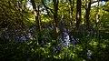 Burton Bushes bluebells IMG 1362.JPG - panoramio.jpg