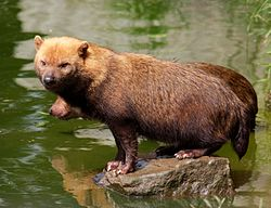 Bush dog at Chester Zoo 1.jpg