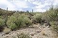 Butcher Jones Trail to Pinter's Point Loop, Tonto National Park, Saguaro Lake, Ft. McDowell, AZ - panoramio (177).jpg