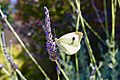 Butterfly and Lavender.jpg