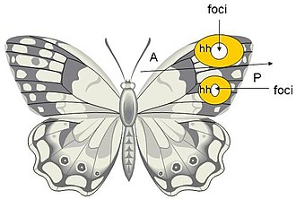 Eyespot (mimicry) - Plan of a typical butterfly, showing the morphogenetic foci on the wings that create eyespots