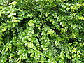 Buxus sempervirens foliage 1.jpg