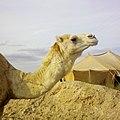 CHAMEAU sur la route N°17 de mecheria - Algérie.jpg