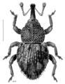 COLE Curculionidae Phronira costosa.png