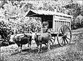 COLLECTIE TROPENMUSEUM Een man op de bok van een wagen getrokken door Madoerese runderen. TMnr 60007586.jpg