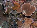 CSIRO ScienceImage 11386 Coral.jpg