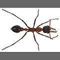 CSIRO ScienceImage 306 bulldog ant.jpg