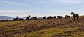 Caballos cerca de Höfn, Vesturland, Islandia, 2014-08-14, DD 020.JPG