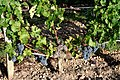 Cabernet Sauvignon on trellising wire with very open canopy.jpg