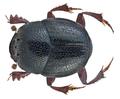 Caccobius morettoi Ph.Walter, 2014 Male (21006159361).png
