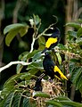Cacicus cela -Peru -nest-8.jpg