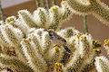 Cactus Wren (Campylorhynchus brunneicapillus) on teddybear cholla (20730946272).jpg