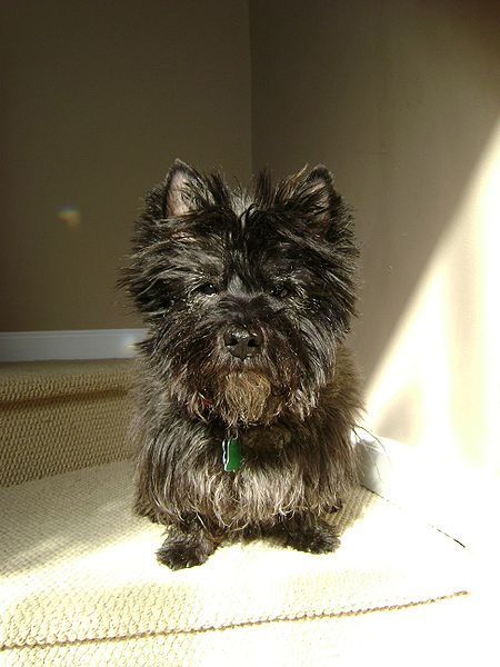 File:Cairn terrier.jpg