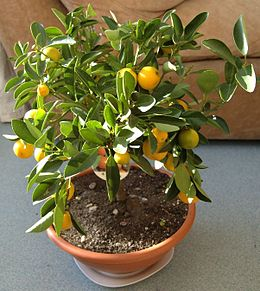 """Calamondin"" (×Citrofortunella microcarpa)"