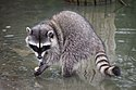 California Raccoon.jpg