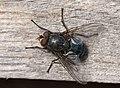 Calliphoridae.JPG