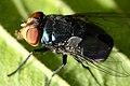 Calliphoridae São Paulo.JPG