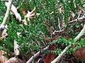 Calluna vulgaris 108724948.jpg