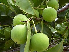 240px-Calophyllum-inophyllum06.jpg