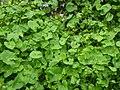 Caltha palustris 126678756.jpg