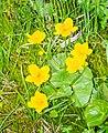 Caltha palustris in Avoriaz (6).jpg
