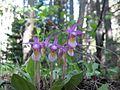 Calypso orchids in Rocky Mountain National Park. NPS-Jennifer Stegmann (18680501832).jpg