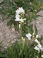Campanula rhomboidalis albino.jpg