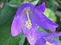 Campanula trachelium ENBLA04.jpg