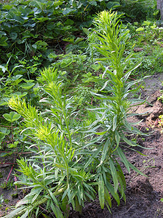 Glyphosate - Horseweed (Conyza canadensis)