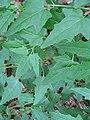 Canarina canariensis dbapa26.jpg