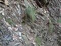 Canche flexueuse (Deschampsia flexuosa) (1) Mont Aigoual.jpg