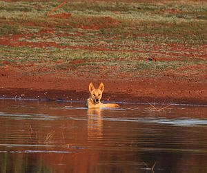 image of Canis lupus dingo 12 - Christopher Watson