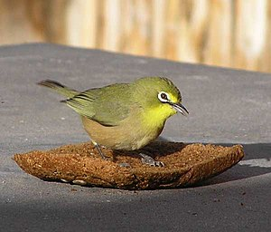 Cape-white-eye-001.jpg