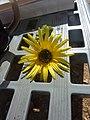 Cape daisy (13469135833).jpg