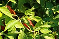 Capsicum annuum Golden Greek Pepperoncini 1zz.jpg