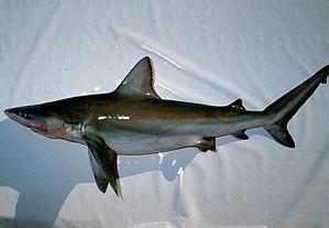 Carcharhinus - Bignose shark (Carcharhinus altimus)