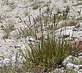 Carex congdonii Talus sedge plant.jpg
